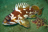 Gopher Rockfish	Scorpionfish Family