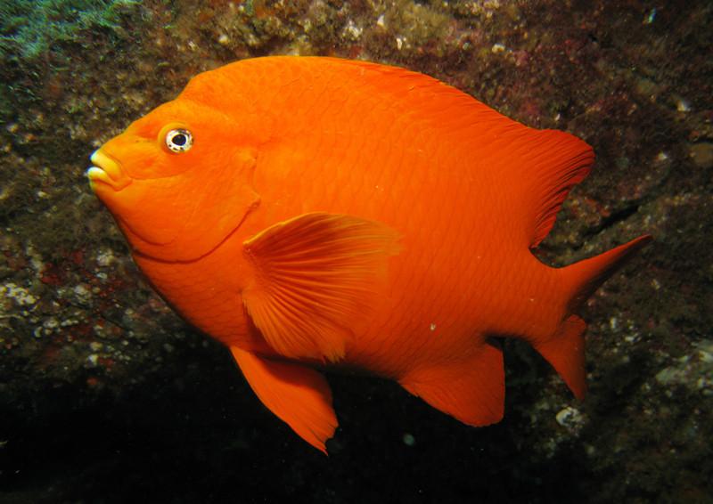 GaribaldiDamselfish Family