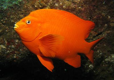 CAL REEF Fish ID Photos
