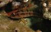 Island KelpfishKelp Blenny Family