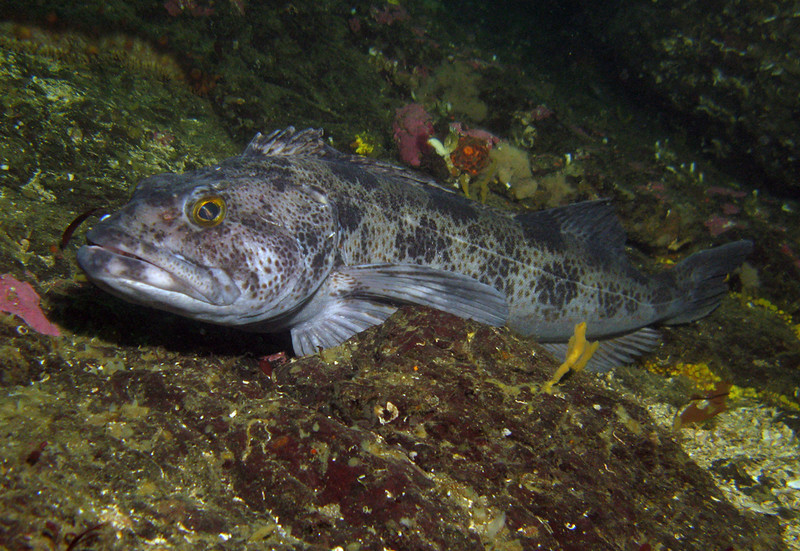 Ling Cod	Greenling Family
