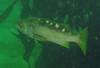 Olive RockfishScorpionfish Family