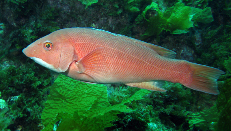 California Sheephead - female	Wrasse Family