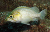 Kelp RockfishScorpionfish Family