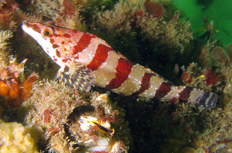 Painted Greenling	Greenling Family