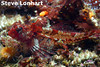 Snubnose Sculpin	Sculpin Family<br /> Photo by Steve Lonhart