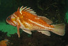 Copper RockfishScorpionfish Family