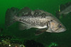 Black RockfishScorpionfish Family