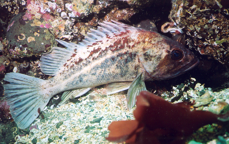 Brown Rockfish	Scorpionfish Family