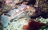 Brown RockfishScorpionfish Family
