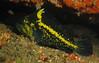 China RockfishScorpionfish Family