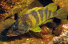 TreefishScorpionfish Family