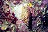 Oregon Triton - Mollusca Phylum