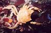 Northern Kelp Crab - Arthropod Phylum