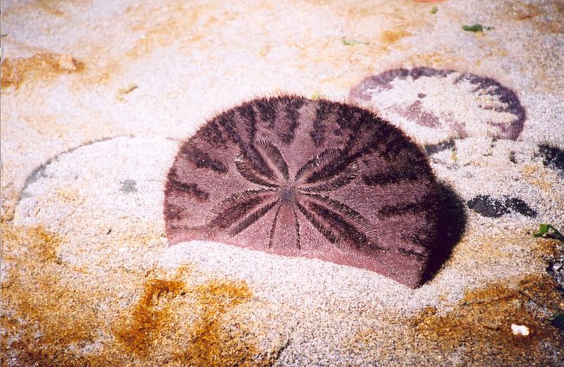 Eccentric Sand Dollar - Echinoderm Phylum