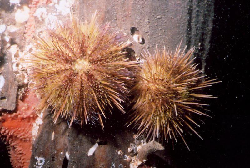 Green Sea Urchin - Echinoderm Phylum