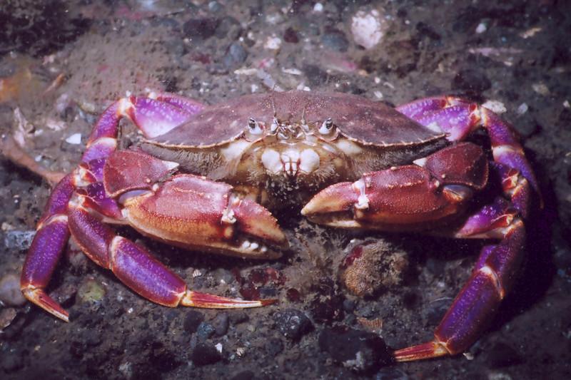 Graceful CrabCancer gracilis