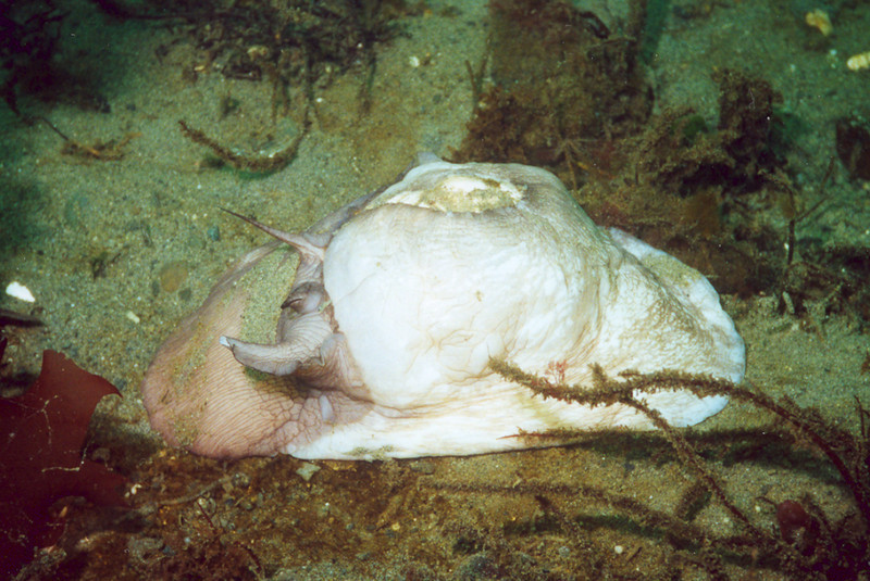 Lewis's Moonsnail - Mollusca Phylum