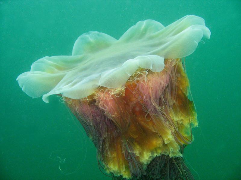Sea Blubber (aka Lion's Mane)- Cnidaria Phylum
