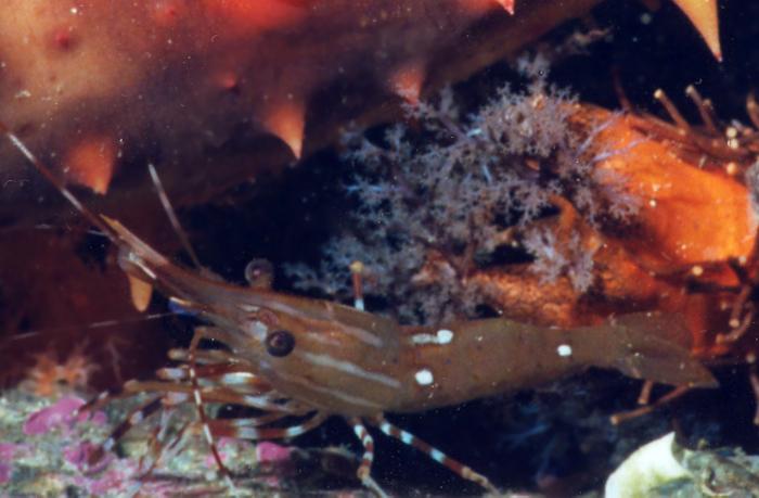 Spot Prawn - Arthropod Phylum