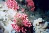 Pink Hydrocoral- Cnidaria Phylum