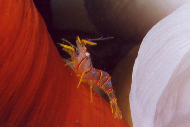 Candy Striped Shrimp - Arthropod Phylum