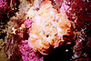 Lacy Bryozoan - Bryozoan Phylum
