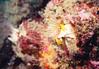 Giant Barnacle - Arthropod Phylum