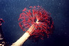 Northern Feather Duster Worm - Annelida Phylum