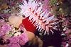 Fish Eating Anemone - Cnidaria Phylum