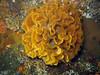Fluted BryozoanHippodiplosia insculpta