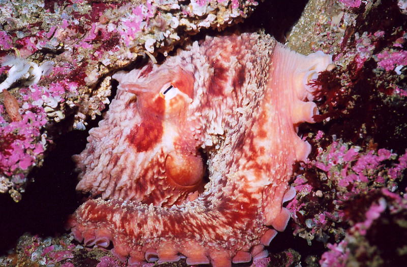 Giant Pacific Octopus - Mollusca Phylum