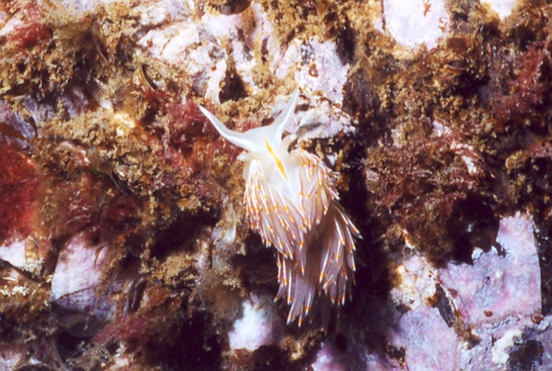 Opalescent Nudibranch - Mollusca Phylum