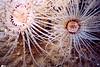 Tube Dwelling Anemone- Cnidaria Phylum