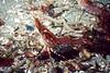 Coonstripe Shrimp - Arthropod Phylum