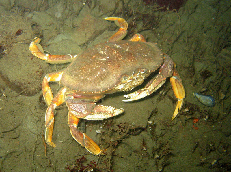 Dungeness Crab - Arthropod Phylum