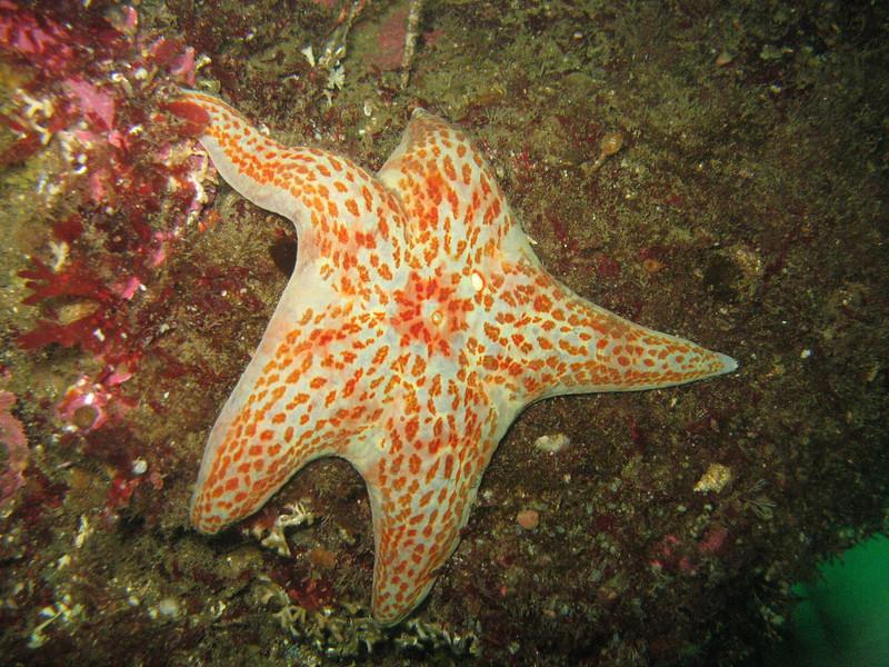 Leather Star - Echinoderm Phylum
