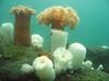 Plumose Anemone- Cnidaria Phylum
