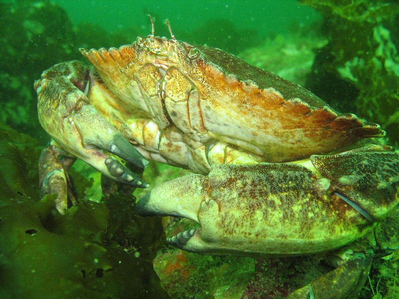 Red Rock Crab - Arthropod Phylum