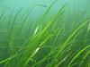 EelgrassZostera marina