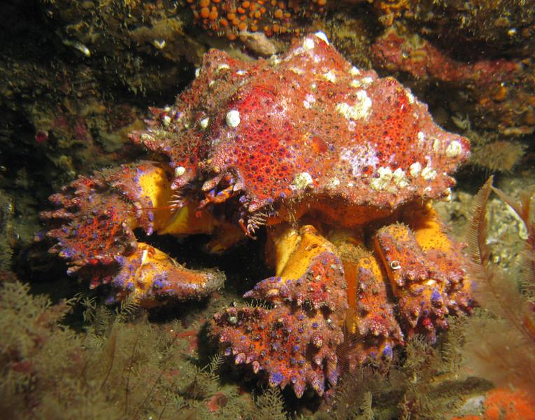 Puget Sound King CrabLopholithodes mandtii
