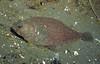 Pacific Sanddab - Lefteye Flounder Family - photo by Janna Nichols - email pnwfishlady@comcast.net