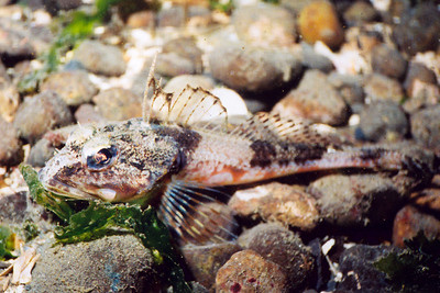 Roughback Sculpin - Sculpin Family - photo by Janna Nichols - email pnwfishlady@comcast.net