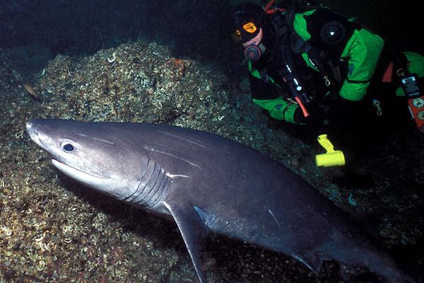 Bluntnose Sixgill Shark - Cowshark Family - photo by John Rawlings - email john.rawlings@verizon.net