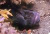 Monkeyface Prickleback - Prickleback Family - photo by James Cutchall - email sparkyjames@gmail.com