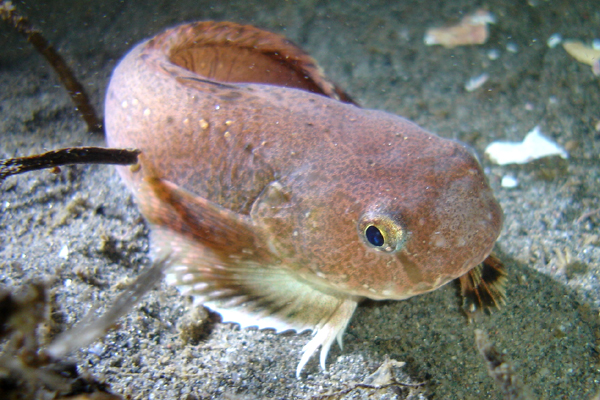Showy Snailfish - Snailfish Family - photo by Jeremy Chevalier - email chevayea@comcast.net