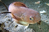 Showy Snailfish - Snailfish Family - photo by Jeremy Chevalier - email chevayea@comcast.net