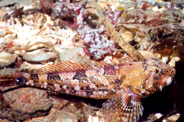 Padded Sculpin - Sculpin Family - photo by Janna Nichols - email pnwfishlady@comcast.net