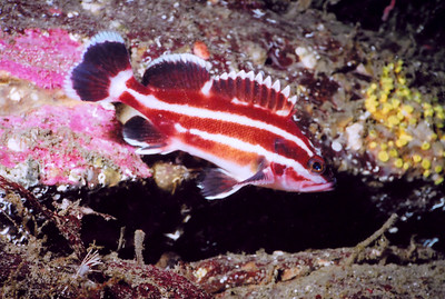 REEF Pacific NW Advanced Fish ID