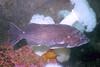 Blue Rockfish - Scorpionfish Family - photo by Claude Nichols - email claude@pnwscuba.com